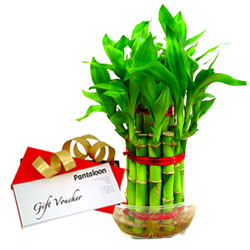 Fabulous Gift of Bamboo Plant with Pantaloons Gift Voucher