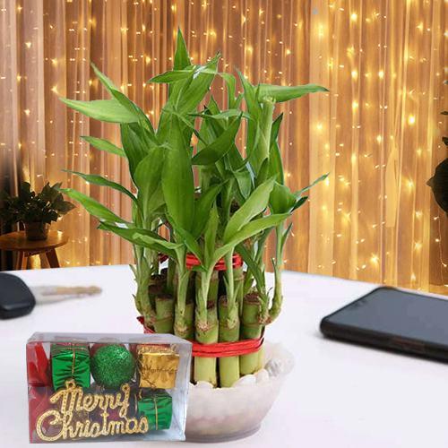 Good Luck Bamboo Plant N LED Light Gift Combo