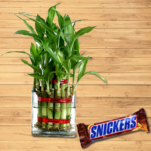 Attractive Gift of 2 Tier Good Fortune Bamboo Plant in Glass Pot with Snickers