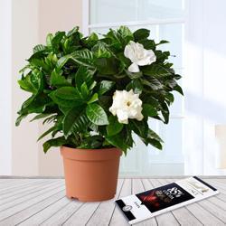 Flowering Jasmine Plant N Chocolate Gift Combo