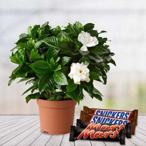 Good Luck Jasmine Flowering Plant N Chocolate Duo