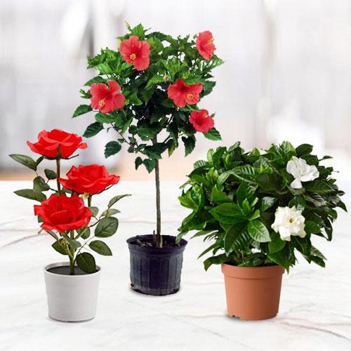 Botanical Gift Set of Good Luck Flowering Plant