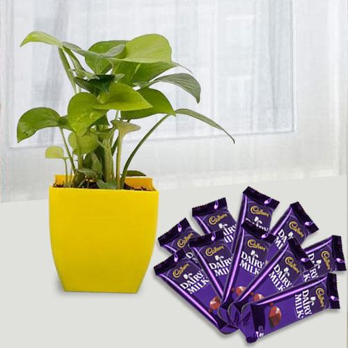Fast-Growing Money Plant N Chocolate Gift Combo