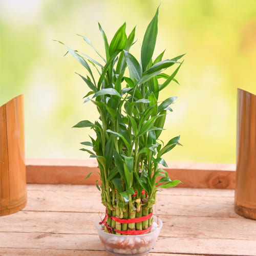 Just For You Two Tier Lucky Bamboo Plant in Glass Pot<br>