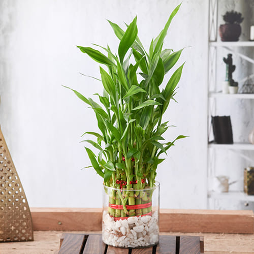 Blooming Selection of Three Layer Lucky Bamboo Plant in Glass Pot