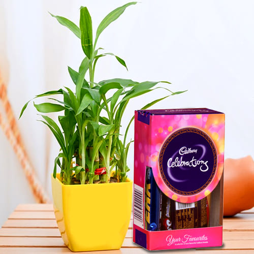Vibrant 2 Tier Lucky Bamboo Plant with Cadbury Celebrations Mini Pack