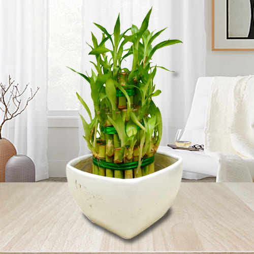 House Warming Gift of 3 Layer Good Luck Bamboo Plant in Ceramic Pot