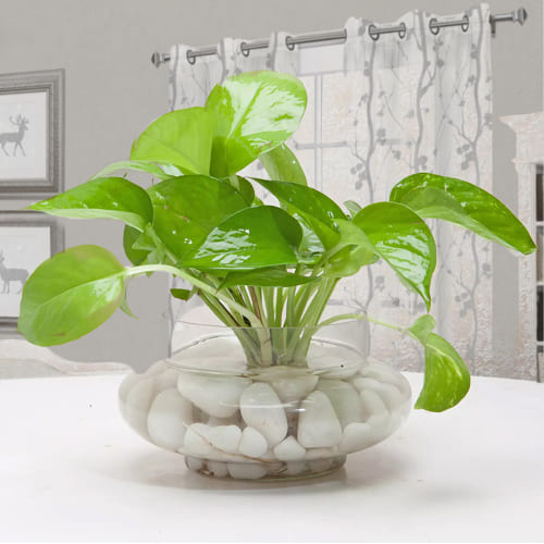 Beautiful Home Decor Money Plant in a Glass Vase