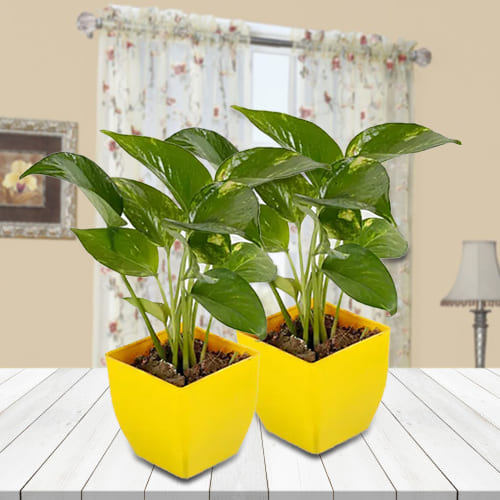 Good Luck Pairing of 2 Set Money Plant in Attractive Plastic Pots<br>