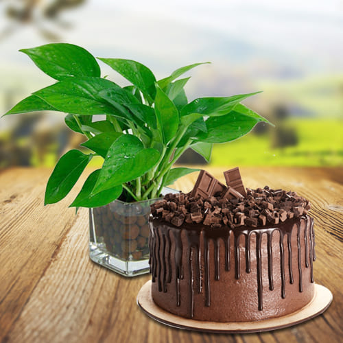 Succulent Selection of Money Plant in Glass Pot with Delectable Chocolate Cake<br>