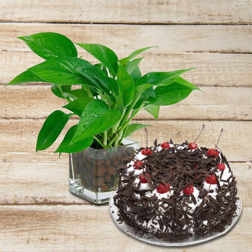 Hue of Green Money Plant in Glass Pot with Creamy Black Forest Cake<br>