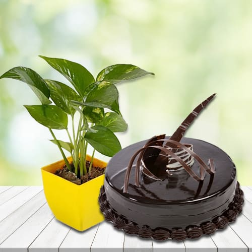 Exquisite Combo of Money Plant in Plastic Pot with Delicious Chocolate Truffle Cake<br>