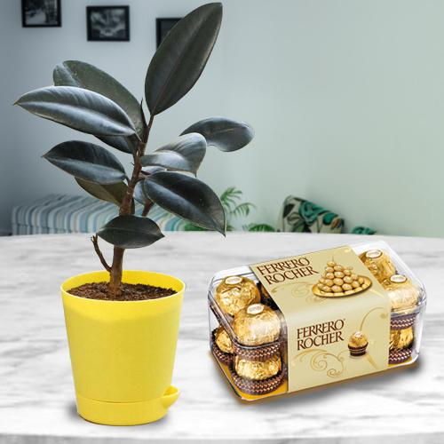 Premium Air Purifying Rubber Plant with Chocolates